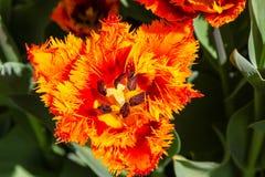 Draufsicht einer orange Tulpe lizenzfreie stockbilder