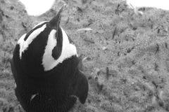 Draufsicht eines afrikanischen Pinguins Lizenzfreie Stockfotografie