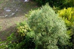 Draufsicht eines einzigen Weidenbaums Stockbild