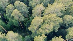 Draufsicht eines grünen Waldes mit hohen Bäumen stock video