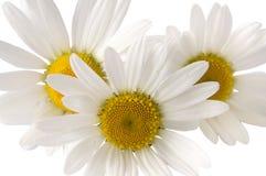 Draufsicht eines weißen Gänseblümchens Stockfotografie