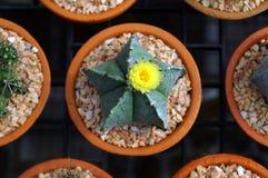 Draufsicht Kaktuspflanzekindertagesstätten Lizenzfreie Stockfotografie