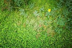 Draufsicht, kleiner grasartiger grüner Hintergrund und Mimose pudica zweijährige Pflanze, die empfindlich ist stockfoto