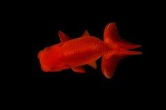 Draufsicht Löwekopfgoldfisch auf schwarzem Hintergrund Stockfotografie