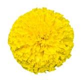 Draufsicht schönen lokalisierten Ringelblume flowersTagetes erecta Lizenzfreie Stockfotografie