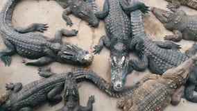Draufsicht vieler Krokodile liegt aus den Grund Krokodil-Bauernhof ist in Pattaya, Thailand thailand asien stock video