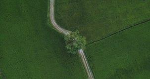 Draufsicht vom Himmel, der hinunter Bewegung entlang Fußweg neben zwei Reisfeldern schaut stock video footage