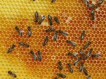 Draufsicht von Arbeitsbienen auf einer Bienenwabe Lizenzfreies Stockfoto