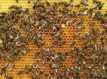 Draufsicht von Arbeitsbienen auf einer Bienenwabe Lizenzfreies Stockbild