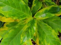 Draufsicht von Blätter Karikatur Anlagen- oder Graptophyllum pictum als Hintergrund Lizenzfreie Stockbilder