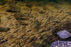 Draufsicht von den Fischen, die im flachen Fluss mit Kiesel und Grund schwimmen Lizenzfreies Stockfoto