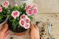 Draufsicht von den weiblichen Händen, die Sorgfalt für rosa Gartennelkenblume anwenden lizenzfreie stockbilder