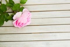 Draufsicht von einem rosa stieg, liegend auf einem weißen Holztisch stockbild