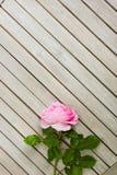Draufsicht von einem rosa stieg, liegend auf einem weißen Holztisch lizenzfreie stockfotografie
