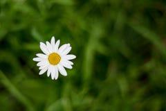 Draufsicht von einer Kamillenblume auf Hintergrund des grünen Grases stockfoto