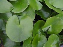 Draufsicht von grünen Seeroseauflagen im Garten Stockbild