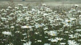 Draufsicht von Kamillenblumen schlie?en oben mit der Weichzeichnung, die in den Wind beeinflu?t Bl?hende Kamille auf dem gr?nen G stock video