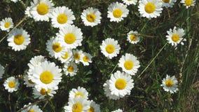 Draufsicht von Kamillenblumen schlie?en oben mit der Weichzeichnung, die in den Wind beeinflu?t Bl?hende Kamille auf dem gr?nen G stock footage