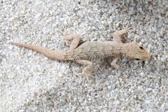 Draufsicht von Kotschy-` s Gecko, mediodactylus kotschyi stockbilder