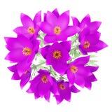 Draufsicht von pasque Blumen lokalisiert auf Weiß Lizenzfreie Stockfotos