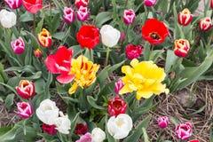 Draufsicht von schönen varicolored Tulpen Stockbild