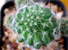 Draufsicht von vibrierendem grünem Mini Cactus Plants, selektiver Fokus Lizenzfreie Stockbilder