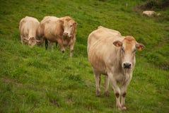 Draufsicht von zwei Kühen und von Stier der Rennenblondine von Aquitanien stockfotografie