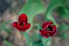 Draufsicht von zwei purpurroten Tulpen Stockbild
