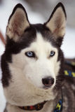 Draught dog. Sled dog sport Royalty Free Stock Photos