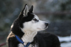 Draught dog. Sled dog sport Royalty Free Stock Images