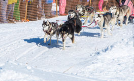 Draught dogs in the winter Royalty Free Stock Images