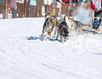 Draught dogs in the winter Royalty Free Stock Image