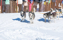 Draught dogs in the winter Royalty Free Stock Photography