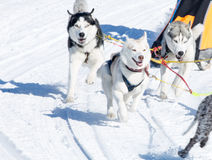 Draught dogs in the winter. On Kamchatka Royalty Free Stock Images