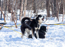 Draught dogs in the winter on Kamchatka Royalty Free Stock Photography