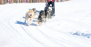 Draught dogs in the winter on Kamchatka Stock Image