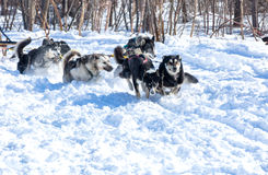 Draught dogs in the winter on Kamchatka Royalty Free Stock Photo
