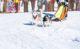 Draught dogs in the winter Stock Images