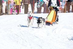 Draught dogs in the winter Royalty Free Stock Photos