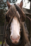 Draught Horse. A still employed draught horse Stock Photography