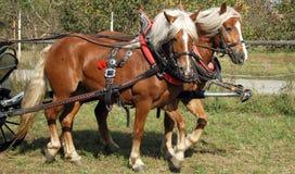 Draught horses Royalty Free Stock Photo