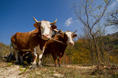 Draught oxen Royalty Free Stock Image