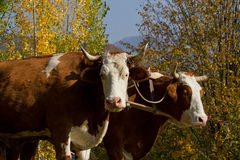 Draught oxen Stock Photography