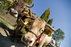 Draught oxen Stock Image