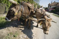Draught oxen. Two oxen draw the yoke together Royalty Free Stock Image