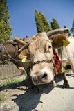 Draught oxen Royalty Free Stock Photography