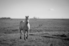 Dravend Palomino-Paard Stock Foto's