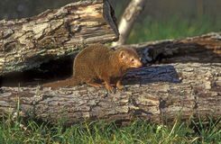 Drawf mongoose, Helogale parvula Royalty Free Stock Images