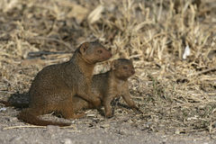 Drawf mongoose, Helogale parvula, Royalty Free Stock Photography