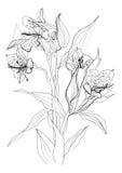 Drawing alstrameriya flower Royalty Free Stock Image